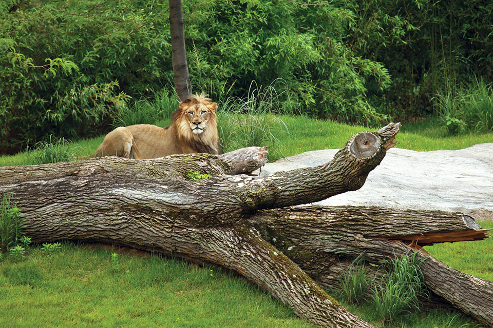 Cincinnati Zoo Lion (photo by Connie Lemperle)