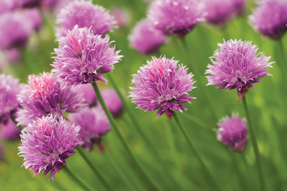 Dwarf or Windowsill Chives (photo by Thinkstock)