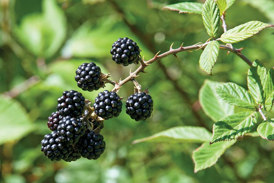 Blackberries on a Vine