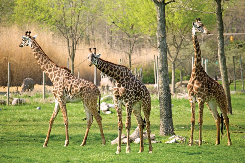 Giraffes at the Toledo Zoo