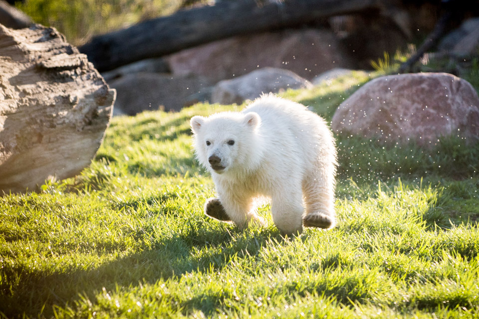 bht_travel_powell-polar-bear-cub