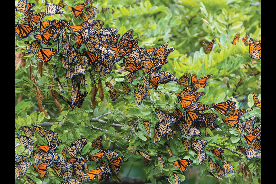 Monarchs at Wendy Park in Cleveland