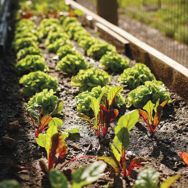 Rows of lettuce at the garden