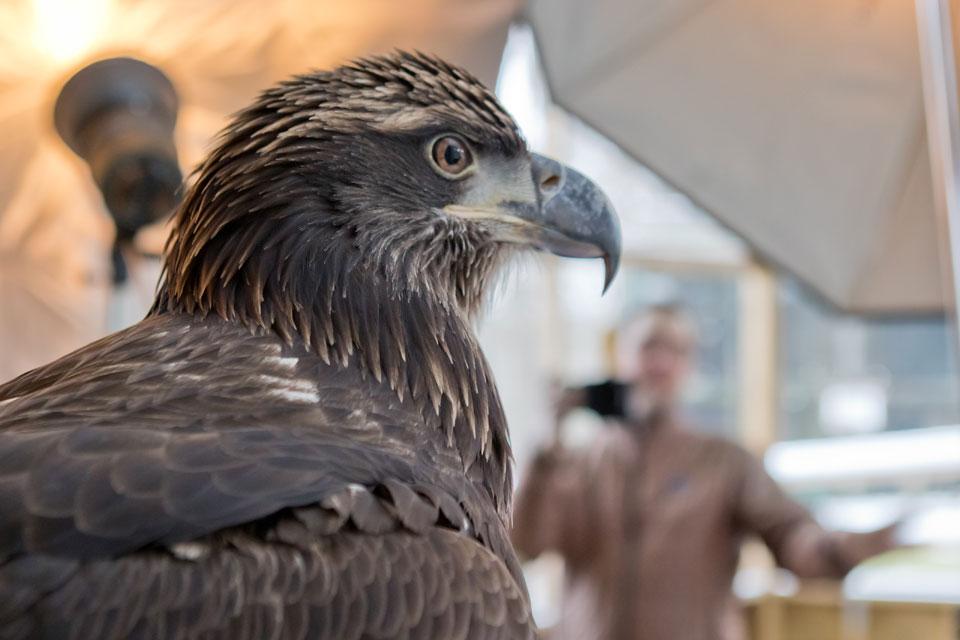 David Fitzsimmons photographing a juvenile bald eagle