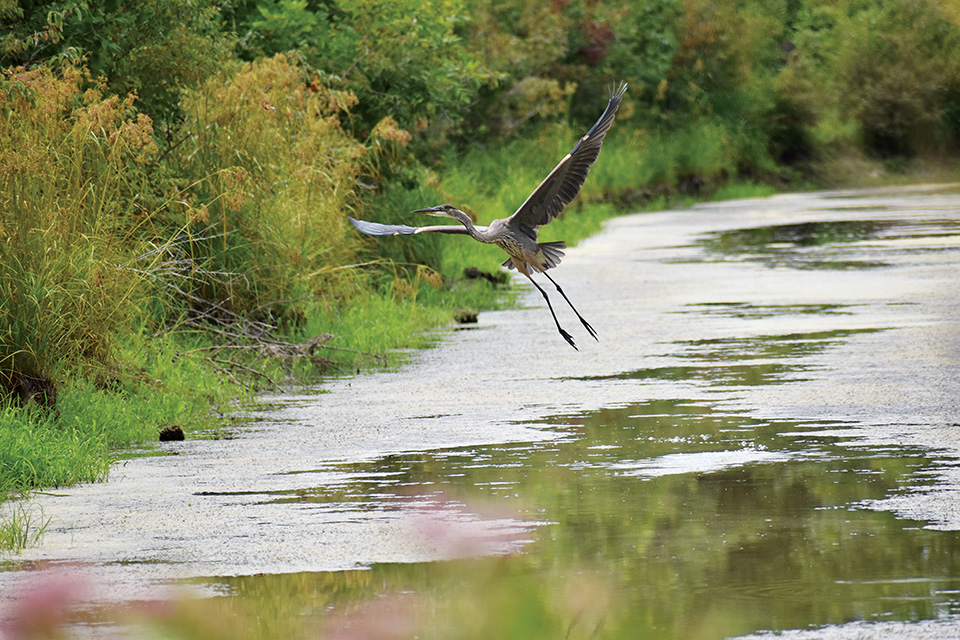 Bird flying at Ottawa National Wildlife Refuge