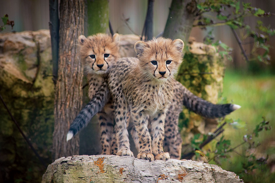 Cheetah cubs at The Wilds (photo by Grahm S. Jones)