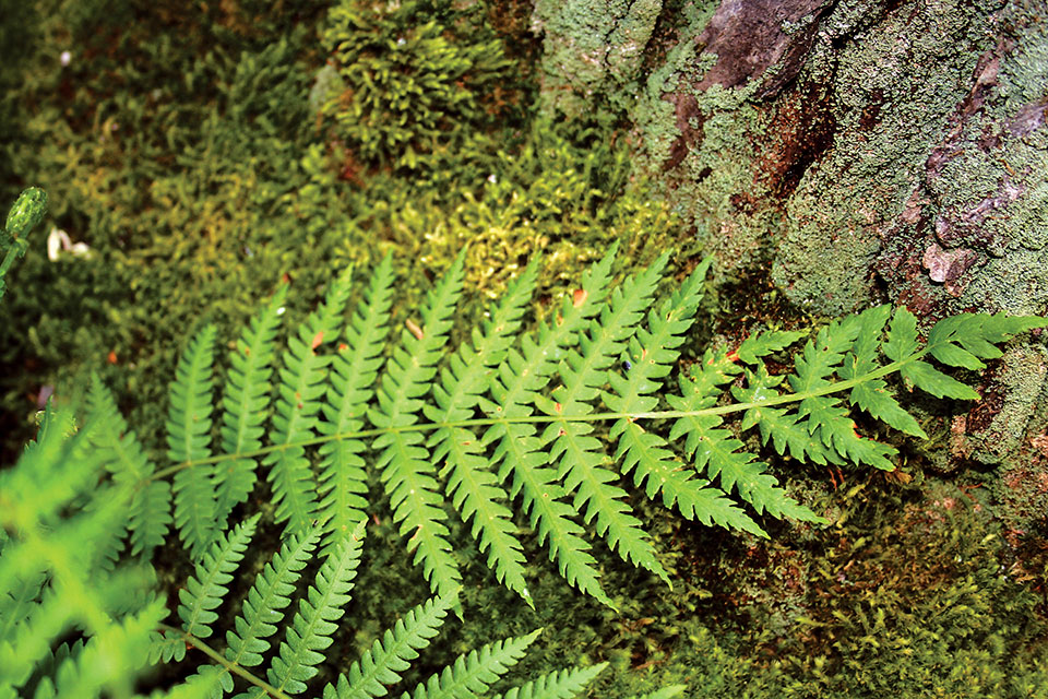 Cinnamon Fern (photo courtesy of Ohio Department of Natural Resources)