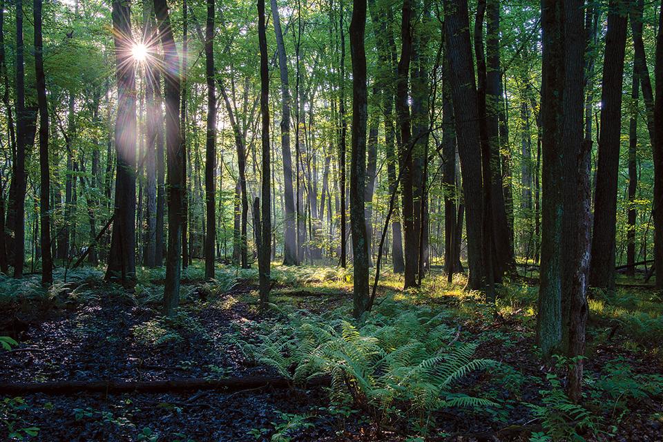 Oak Openings Fern Forest