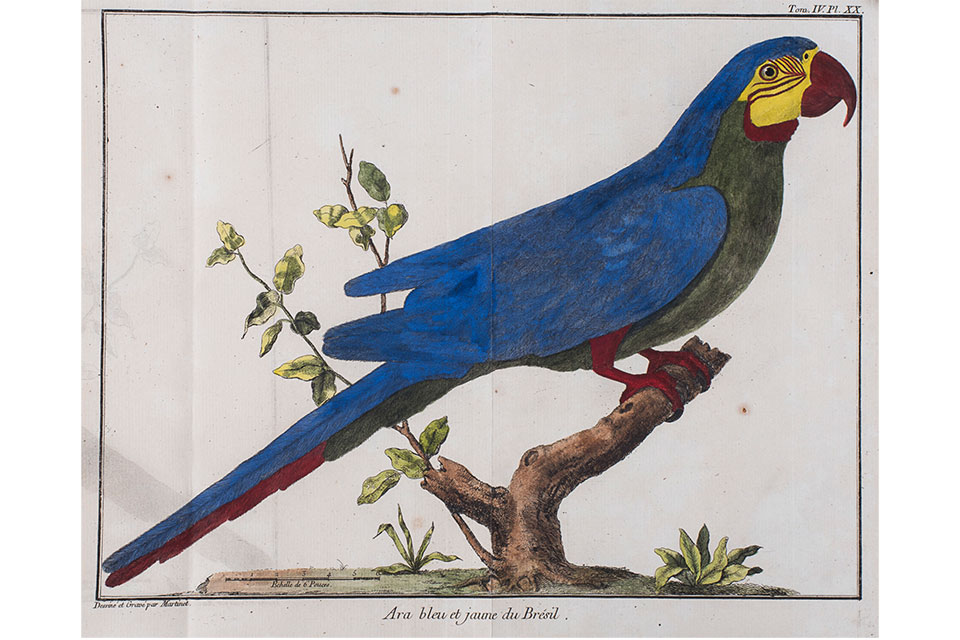 """Blue-and-Gold Macaw, Plate 20, from Ornithologie (Ornithology), Vol. 4."" (artwork courtesy of Toledo Museum of Art)"