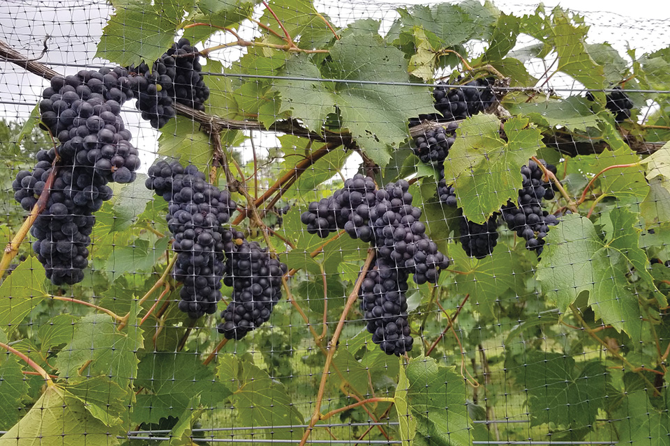 Grapes on the vine (photo courtesy of Rockside Winery & Vineyards)