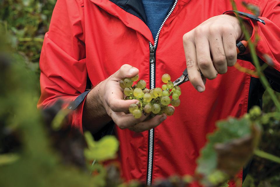 Man pruning grapes (photo by Matt Shiffler)
