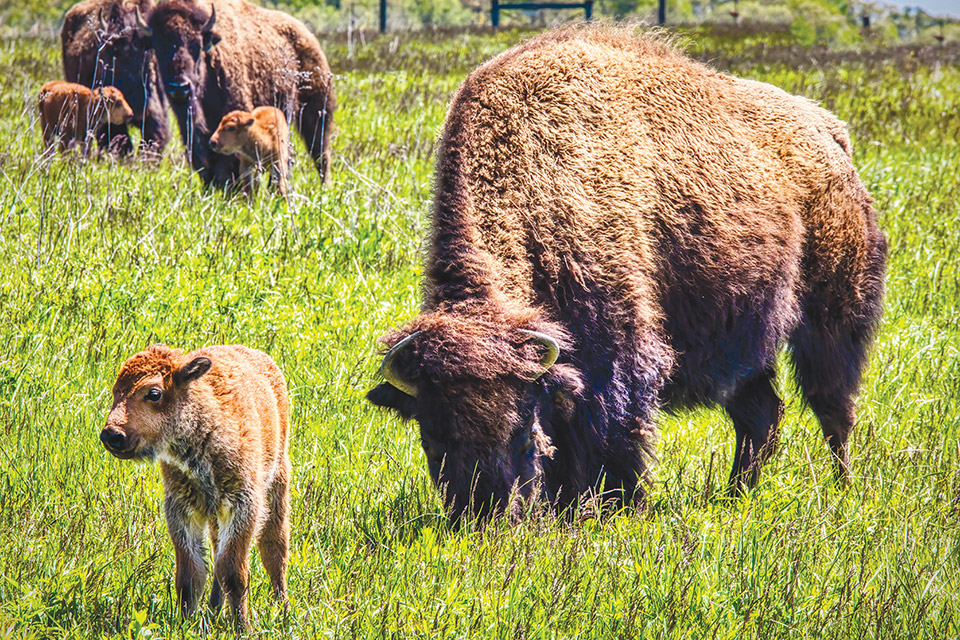 Bison at Battelle Darby Creek Metro Park (photo courtesy of Columbus and Franklin County Metro Parks)
