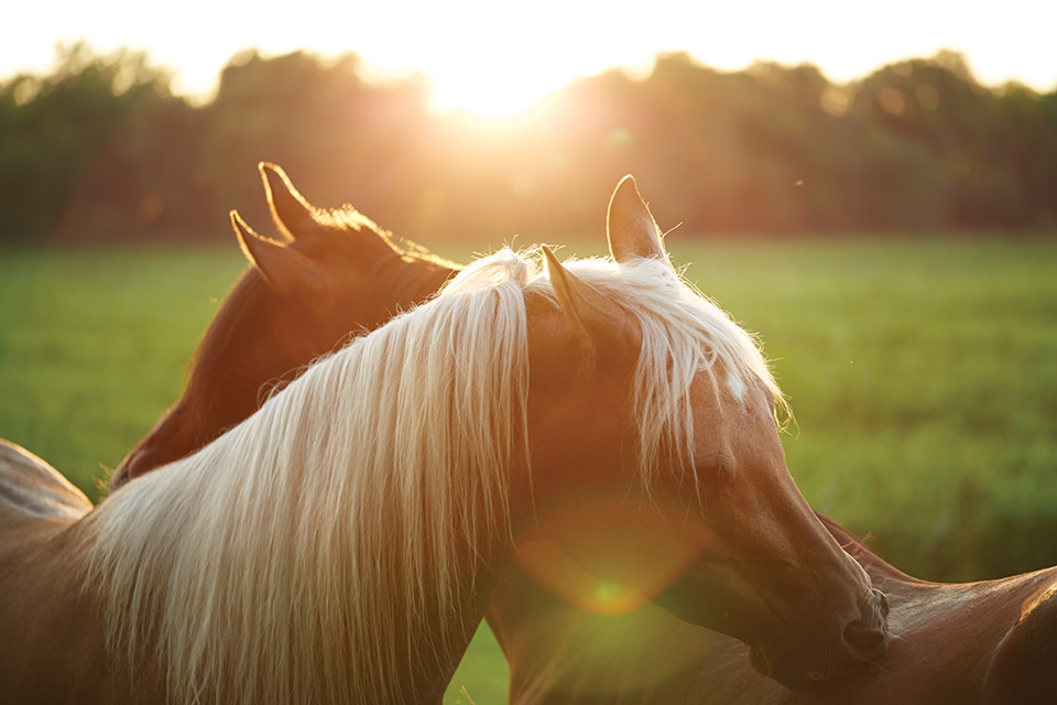 Carriage House Farm Horses in the sun (photo by Matt Witherspoon)