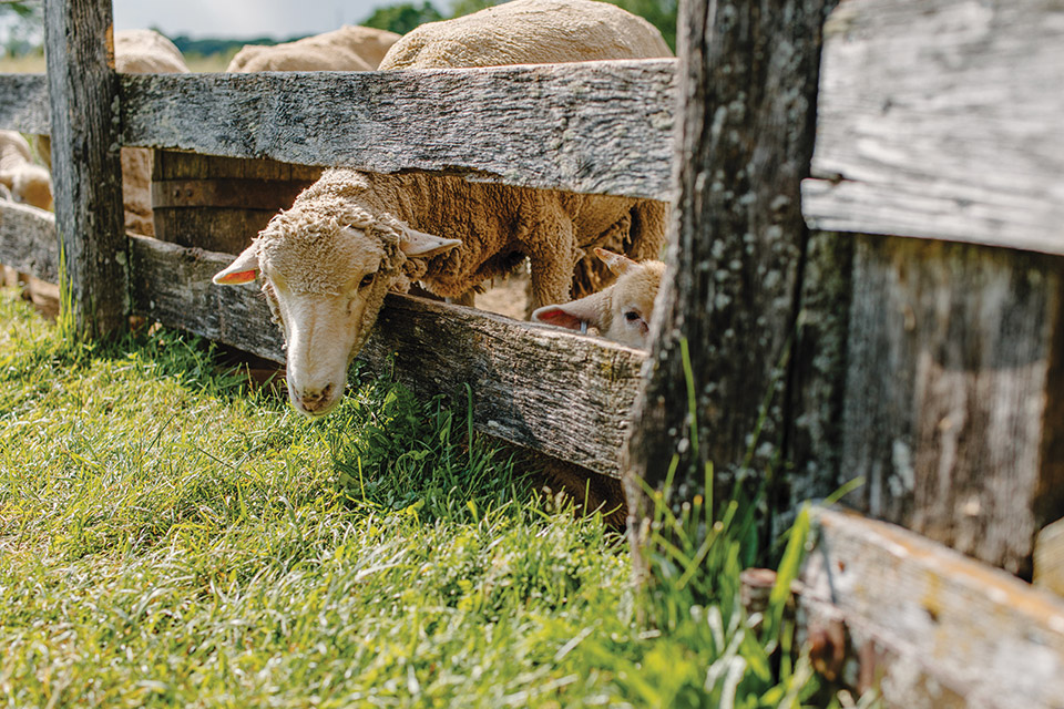 Slate Run Living Historical Farm sheep at a fence (photo by Megan Leigh Barnard)